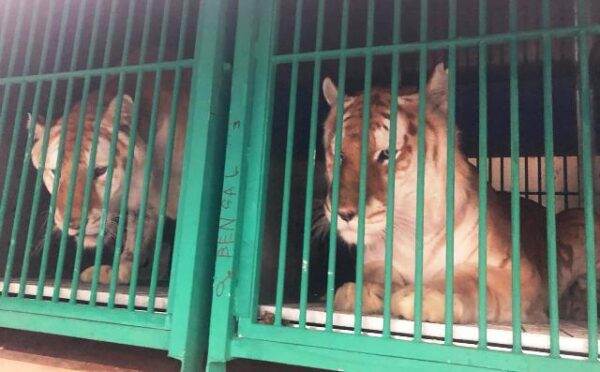Stampa: Tre tigri decollano da Malpensa Cargo City