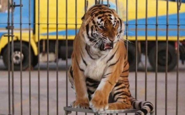 27/10/2003: Ferito da una tigre al Circo Moira Orfei