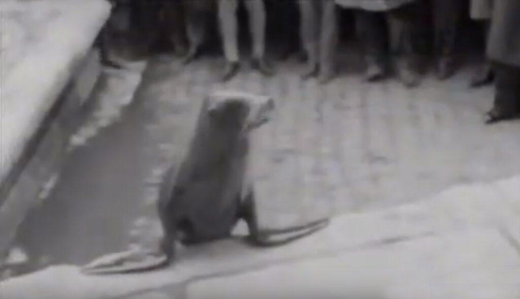 1958. LE FOCHE DEL CIRCO TOGNI NELLA FONTANA DI TREVI A ROMA: IL VIDEO