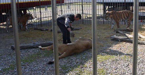 Circo Orfei bloccato a Milano, per il coronavirus la compagnia ora è in gabbia come le sue tigri