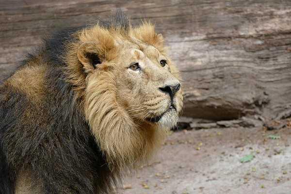 Martin Lacey vorrebbe salvare dall'uccisione il leone Subali