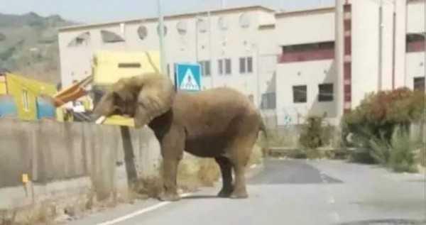 Scappa un elefante dal circo a Messina